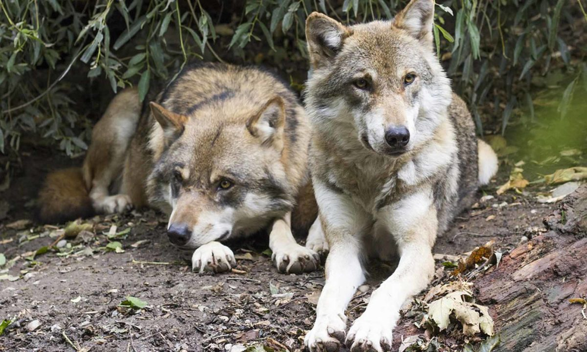 Wölfe (Canis Lupus) – Eine bedrohte Spezies